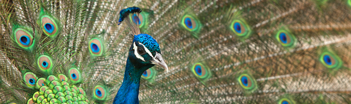 Peacock in saturated colors